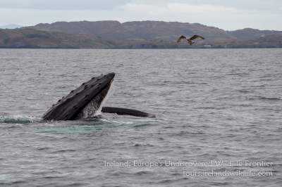 Humpback whale off the West Cork coast