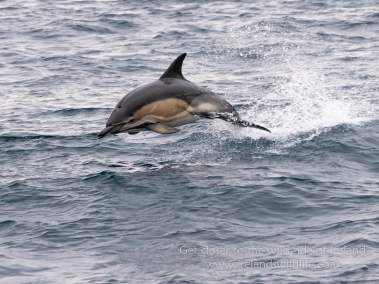 Short-beaked common dolphins occur in their thousands off the west Cork Coast