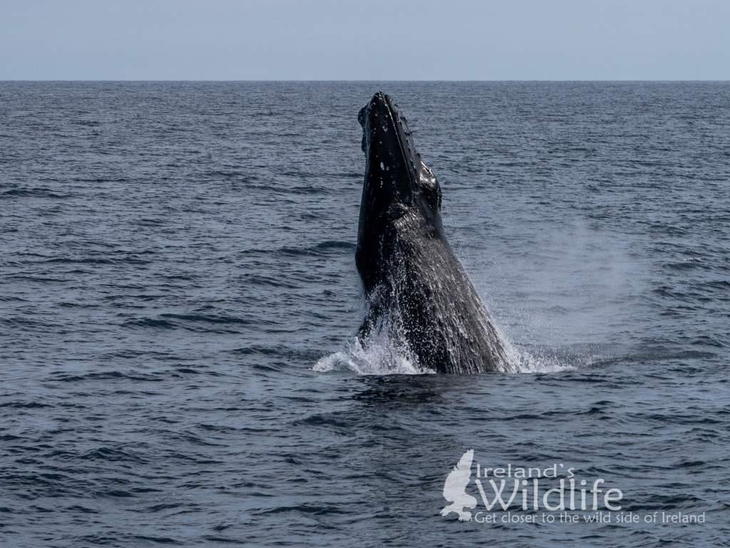 Breaching Humpback Whale, Ireland's Wildlife Tours