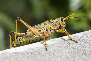 Grasshopper in Ephesus