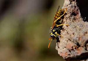Hornet in Ephesus