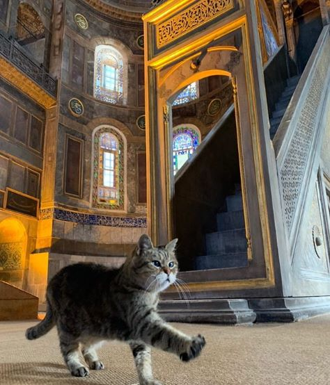 Gli-the-Hagia-Sophia-Cat-11