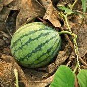 Watermelons in Turkey