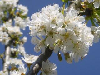fleur cerisier touraine
