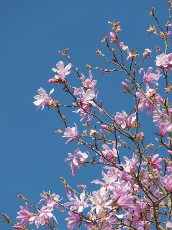 balade chédigny magnolia