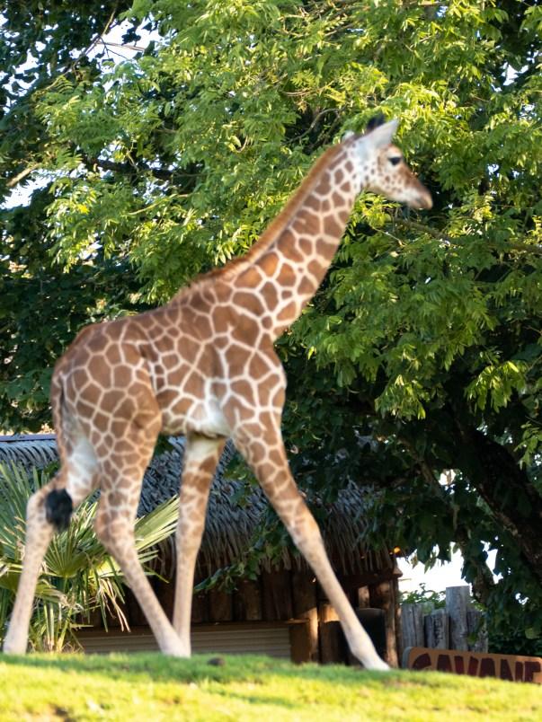 girafon zoo beauval