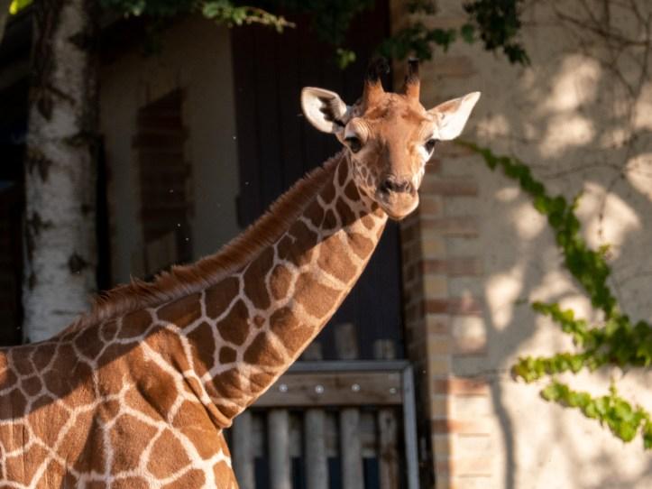 Le girafon du zoo de Beauval
