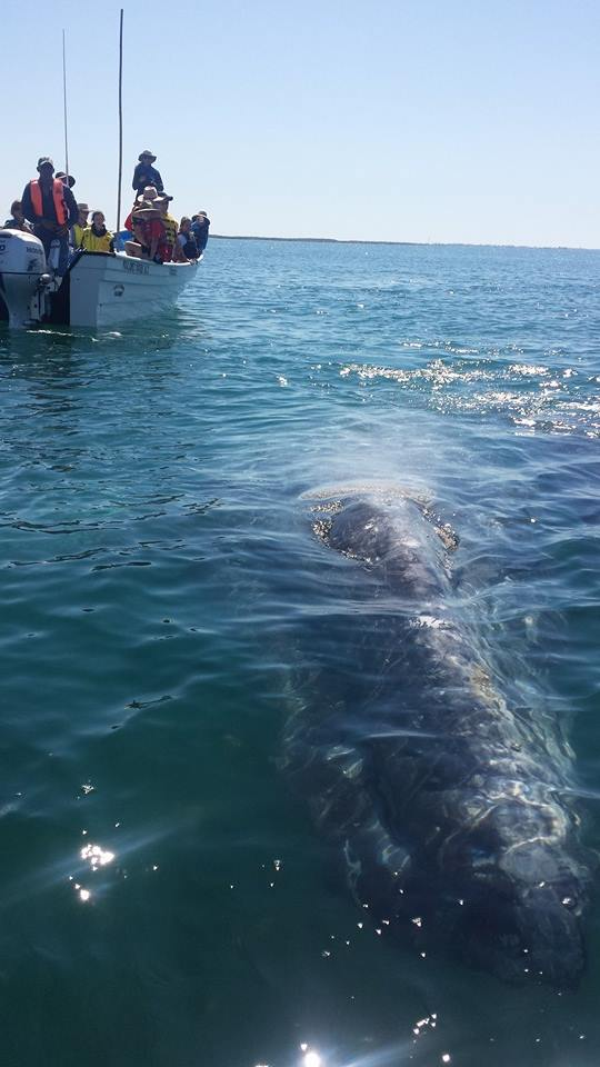 grey whale and panga