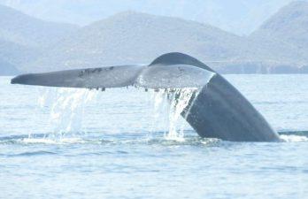 Blue Whale Watching, Loreto Sea and Land Tours, BCS