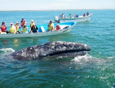 grey-whales-2.jpg