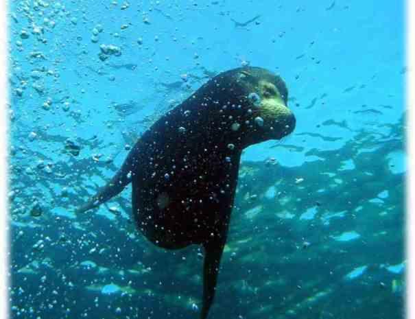 sea lion diving loreto