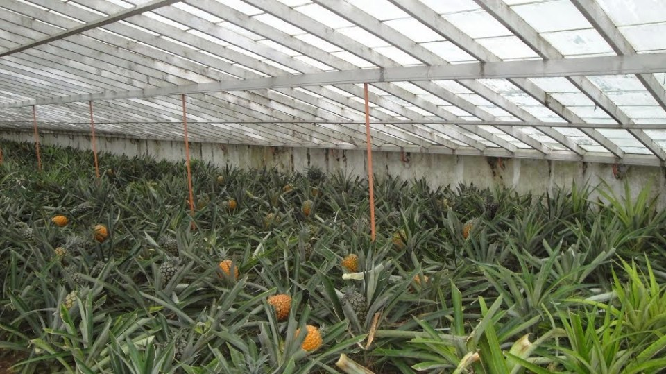 ponta delgada pineapple plantation