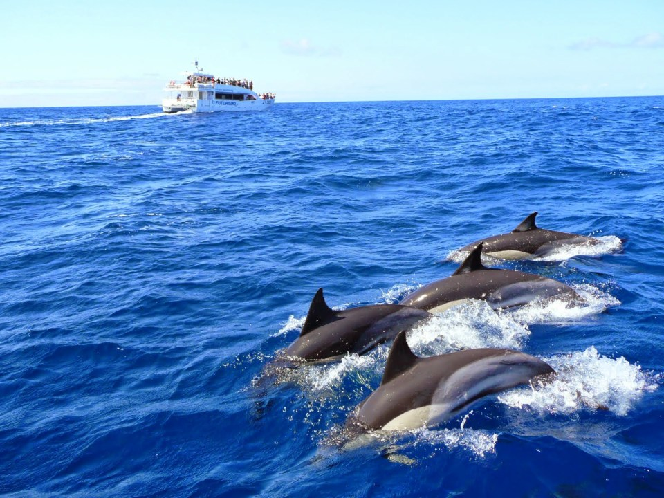 dolphins atlantic azores islands swimming tour
