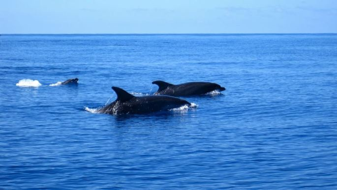 86d16-dolphins-azores