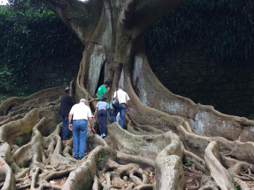 flora of sao miguel island Azores large tree in garden