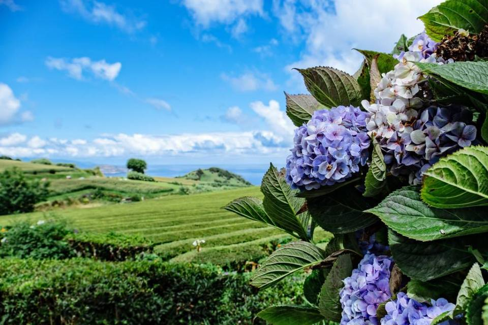 azores tea and hydrangea gardens flowers in bloom during summer