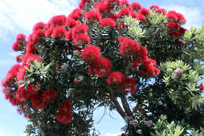 Bright red flowers of a pohutukawa tree, Azores