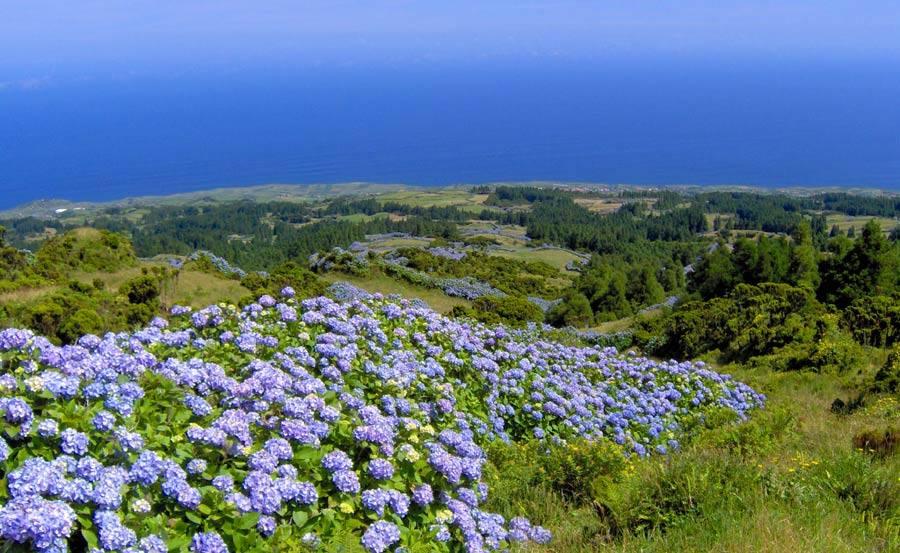 Azores hydrangea islands azores