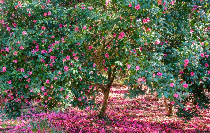 Beautiful blooming Camellia Trees full of pink blossoms surrounded by fallen pink flowers.