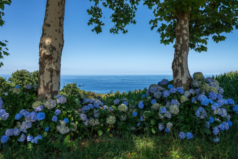 Azores Hydrangea and Hortensia Fence overlooking Atlantic Ocean
