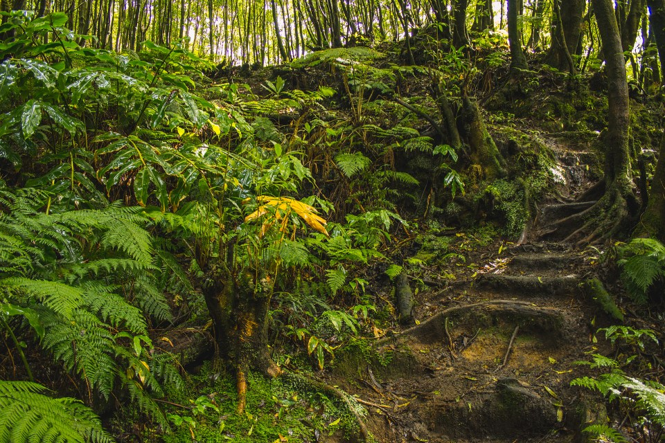 azores rainforest sao miguel azores hiking trail ferns and palm trees