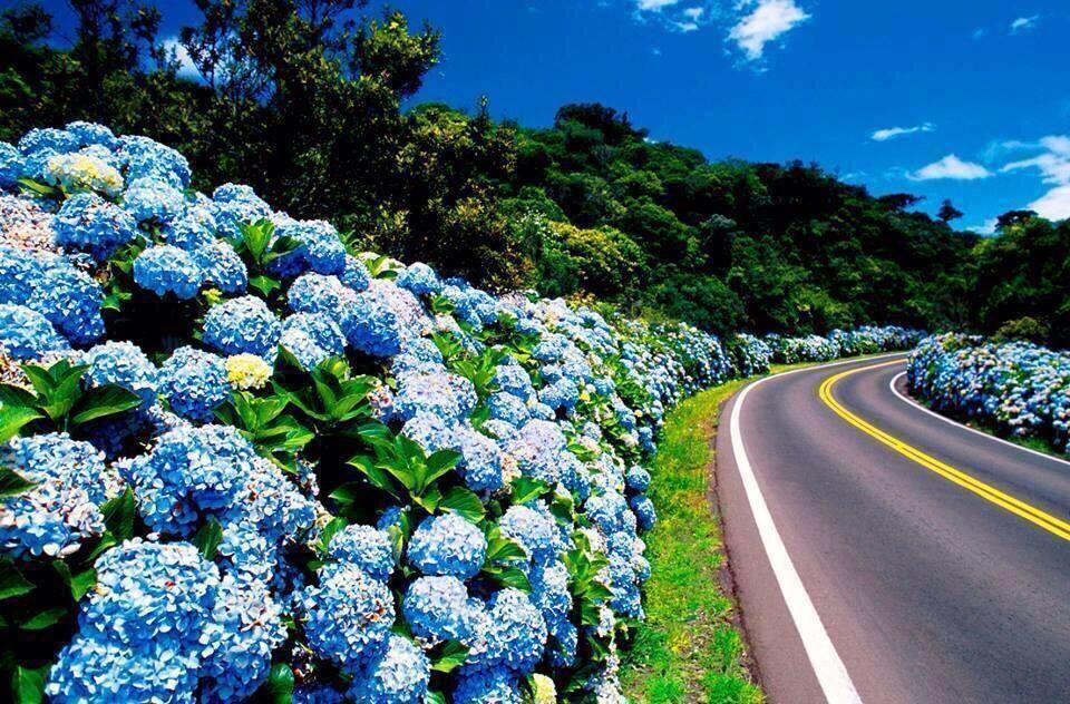 portuguese blue hydrangea road sao miguel flower island azores