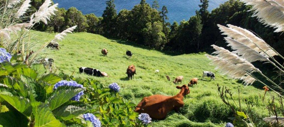 sao-miguel-acores cows and pastures milk azores islands