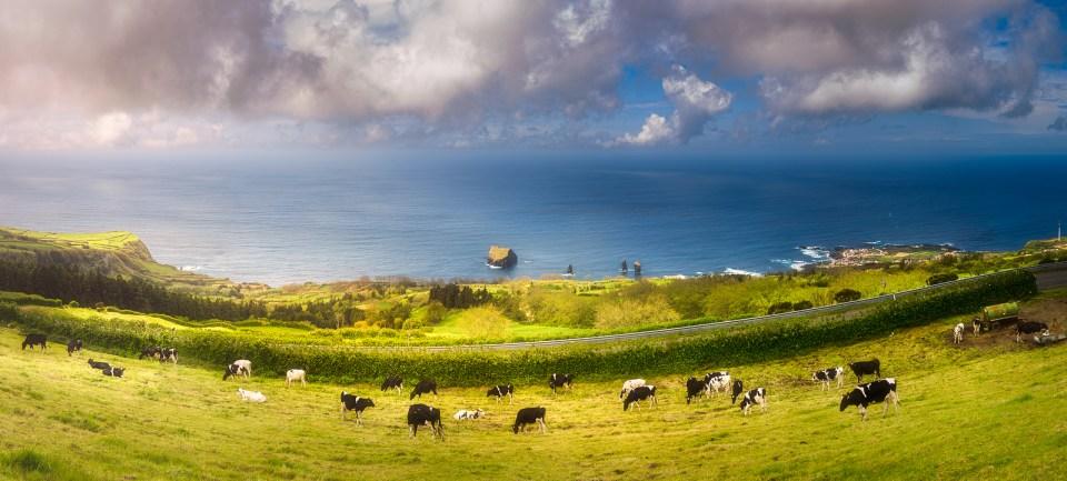Azores Cow Farming Sao Miguel Vaca