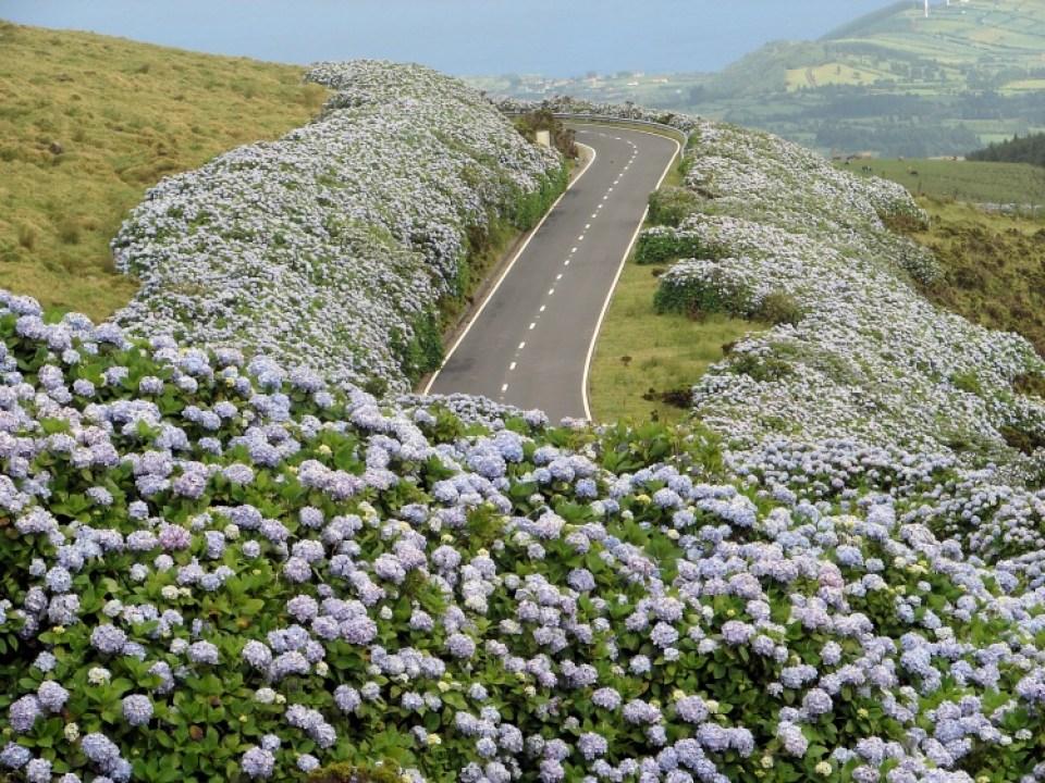 Azores Flowers hydrangea road lush blue hortensia dos acores
