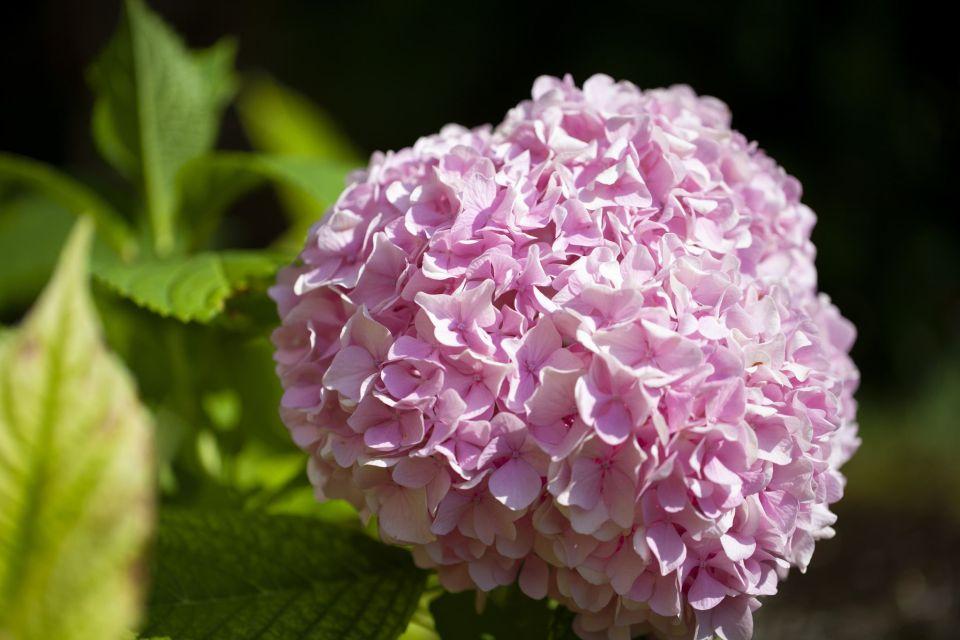 pink azorean hydrangea hortensia dos acores