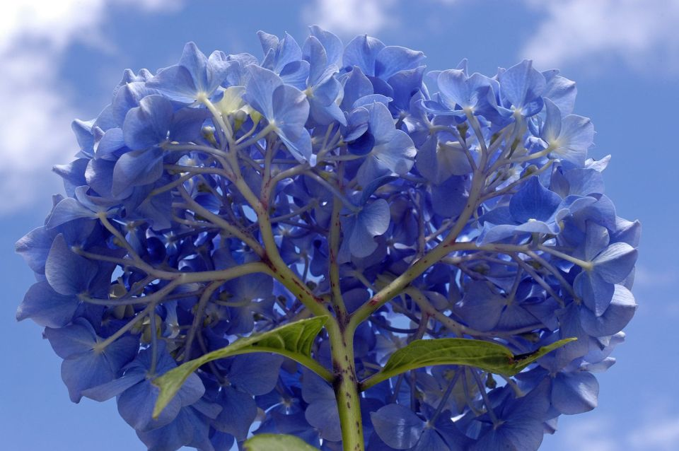 Azores Islands blue hydrangea hortensia latvia poland