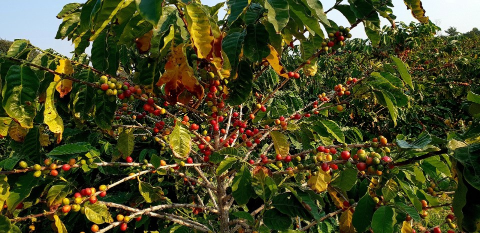 Azores Coffee Portuguese Canary Tree