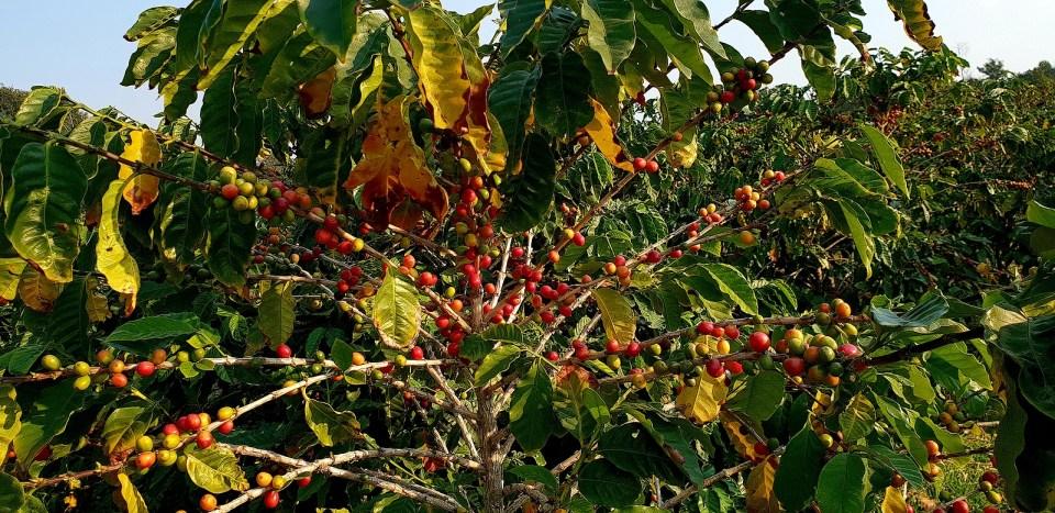 Azores Coffee Portuguese Canary Tree