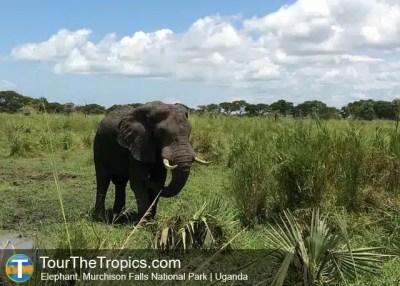 Elephant, Murchison Falls National Park, Uganda - Tourist Attractions in Uganda