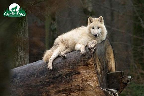 loups-blancs-arctique-rhode