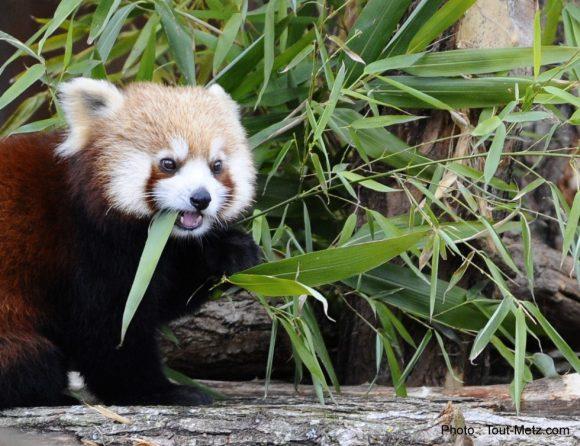 pandas-roux-rhodes-1