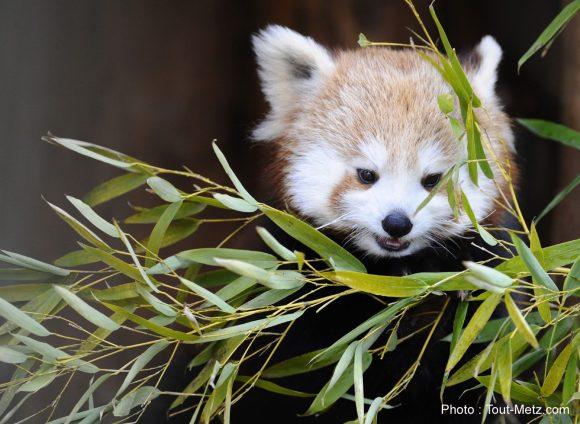 pandas-roux-rhodes-4