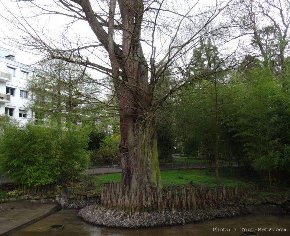 Le cyprès chauve, arbre respirant grâce à ses racines aériennes.