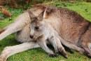 Louveteaux, kangourous, manchots, antilope… des naissances en pagaille au zoo d'Amnéville (photos)