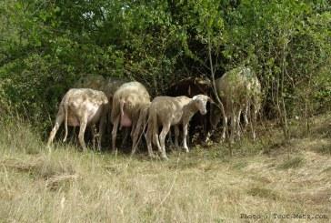 Eco-pâturage : 1 berger et 60 brebis s'installent à Jussy