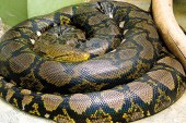 Deux pythons géants : les derniers arrivants du Zoo d'Amnéville