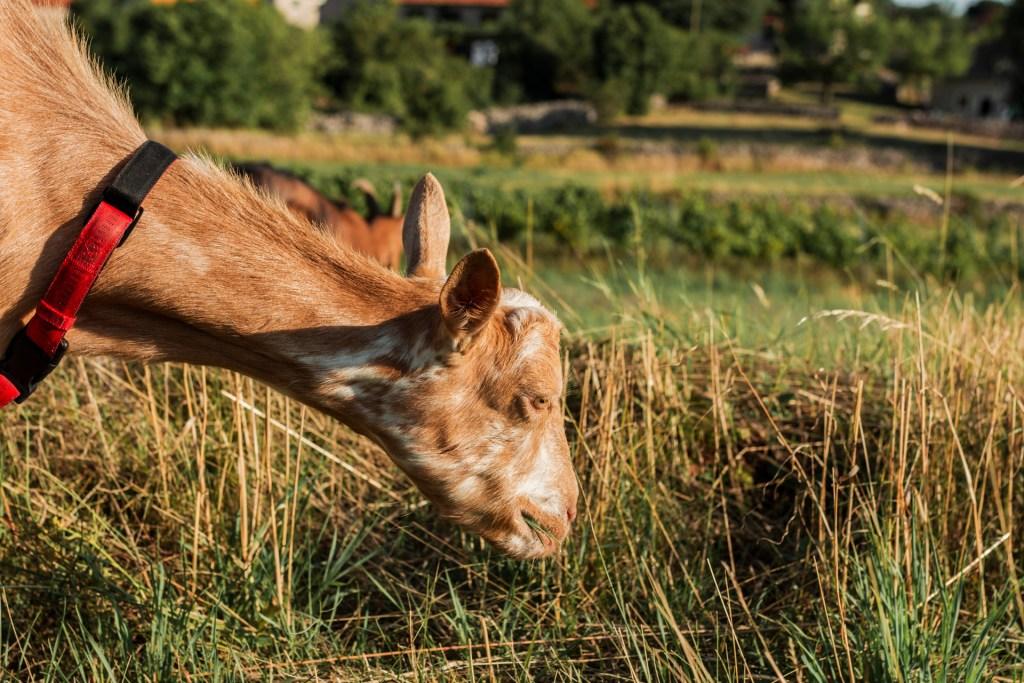 Tartiflette la chèvre mange de l'herbe fraiche.