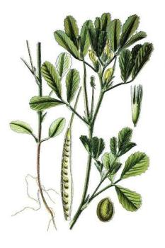 fenugrec plante botanique