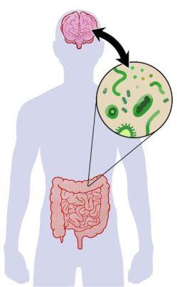 schéma lien entre cerveau et intestin
