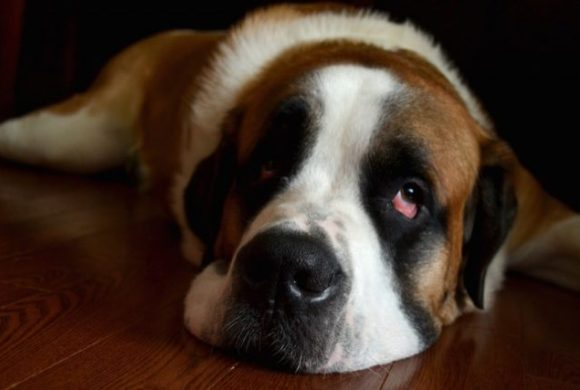 La dilatation-torsion de l'estomac chez le chien