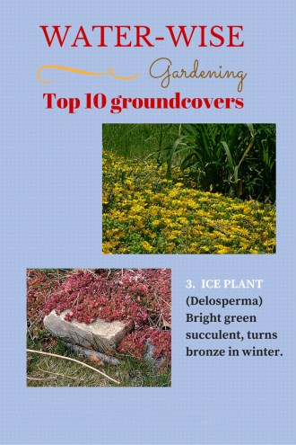 Water-wise-groundcovers-ice-plant