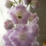 Delphinium, pink