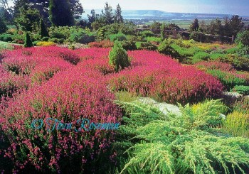 sustainable gardening with blooming heather-scene