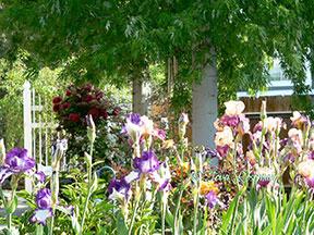 perennials - iris mass planting