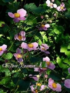 fall perennials pink anemone